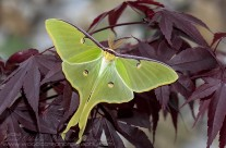 Luna Moth – 4.5 inch wingspan