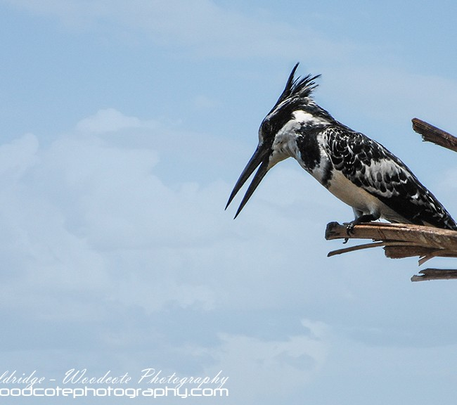 Pied Kingfisher fishing the River Nile in Egypt