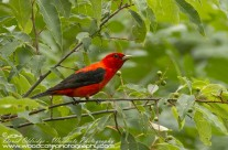 Scarlet Tanager Gallery