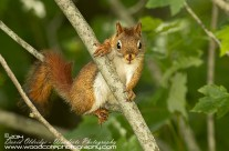 American Red Squirrel Gallery