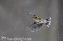 American Goldfinches Gallery