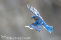 Bluebird Gallery