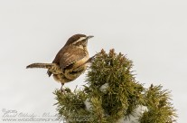 Carolina Wren Gallery