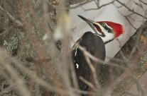 Pileated Woodpecker Gallery