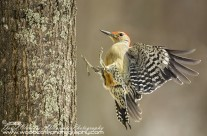 Red Bellied Woodpecker Gallery