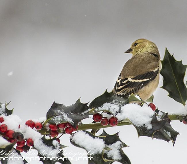 Winter American Goldfinch