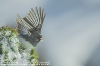 Dark Eyed Junco (Snow Bird) Gallery