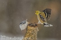 Goldfinch and Nuthatch vying for real estate