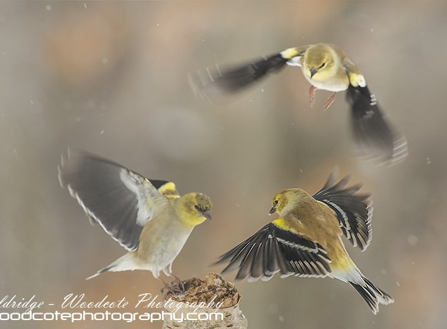Winter American Goldfinches