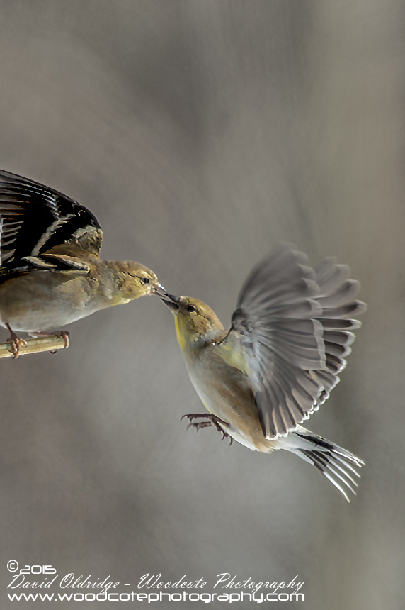 Feisty Winter American Goldfinches
