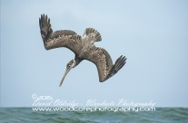 Brown Pelican – diving sequence