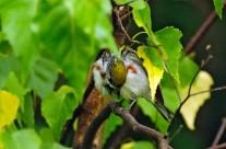 A rather coy Chestnut Sided Warbler