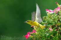 We're Off – Female Orchard Oriole