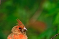 Juvenile male Northern cardinal beginning to acquire adult plumage