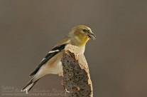 American Goldfinch in winter plumage