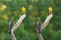 Watching the Tennis? – American Goldfinch and Downy Woodpecker