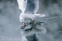 Reflection of a Blackheaded Gull