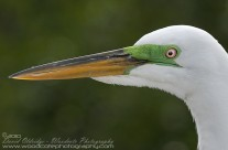 Male Great Egret in breeding colours