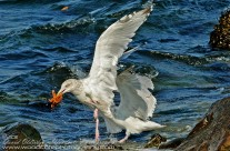 A pair of Iceland Gulls dispute ownership of a Starfish