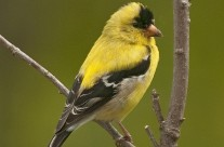 Male Summer American Goldfinch