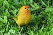 Saffron Finch on island of Maui
