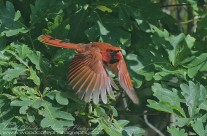 Male Northern Cardinal emerging from cover
