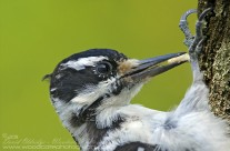 Hairy Woodpeckers Gallery