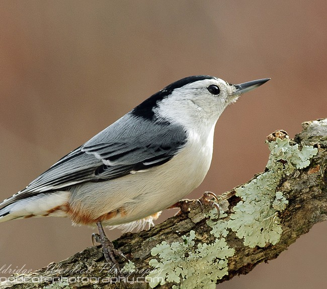 White breasted Nuthatch on a Fall backdrop