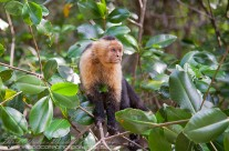 White Faced Capuchin In The Mangroves