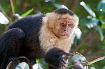 White Faced Capuchin with lunch on its mind