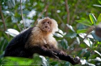 White Faced Capuchin with toothy grin