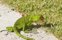 Juvenile Iguana – Grand Cayman