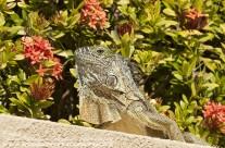 Iguana – Grand Cayman