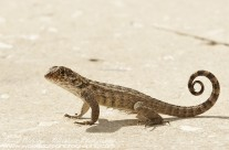Grand Cayman Curly-tailed Lizard
