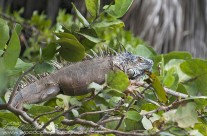 Iguana – Cayman (3)