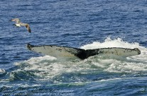 Submerging Humpback Whale