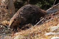 North American Beaver (3)