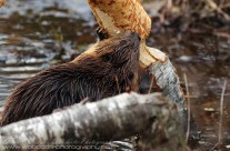 North American Beaver caught in the act
