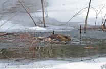 North American Beaver stocking up his larder