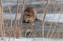 North American Beaver feeding on the ice