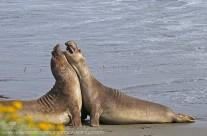 Elephant Seals battle for dominance