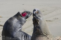 Elephant Seal dispute