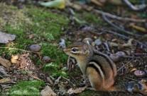 Chipmunk on the forest floor