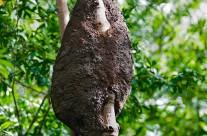 Mangrove Tree Ants' Nest in Costa Rica