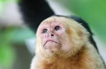 White Faced Capuchin – Intense