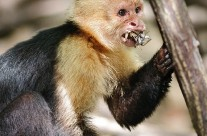 White Faced Capuchin with what was once a mud crab