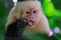 White Faced Capuchin with mud crab for lunch