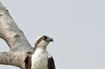 Osprey with lunch – Costa Rica