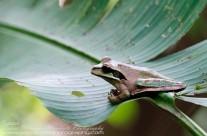 Masked Smilisca Tree Frog – Costa Rica