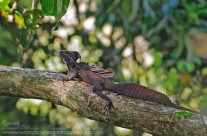 Brown Basilisk (Jesus Christ Lizard)